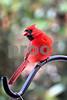 DSC_0345 Male Cardinal VT SSSS