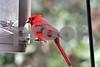 DSC_0351 Male Cardinal at Feeder SSSS