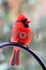DSC_0256 Male Cardinal VT 3:4 view SSSS