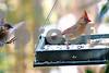 DSC_0284 Bluebird coming, Cardinal going SSS