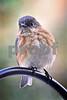 DSC_0406 Fluffed Bluebird leaning left SSSS