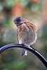 DSC_0377 Female Bluebird leaning SSS