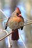 DSC_0332 Fluffed Female Cardinal 4x6 SSSS