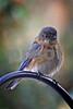 DSC_0397 Disgruntled Female Bluebird