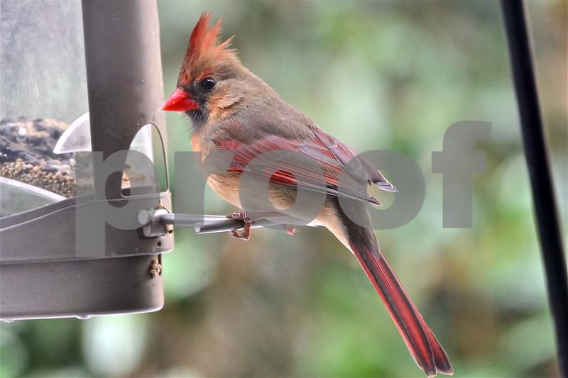DSC_0243 Female Cardinal at Feeder 3 Best