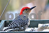 DSC_0304  Red Bellied Woodpecker SSSS