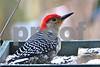 DSC_0304  Red Bellied Woodpecker SSSS