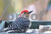 DSC_0312 Red Bellied Woodpecker looking up SSSS