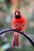 DSC_0255 Male Cardinal VT