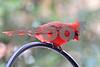 DSC_0262 Male Cardinal HZ looking down SSS