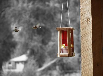 Dueling Hummingbirds - Dolores, Colorado