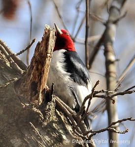 rh_woodpecker003