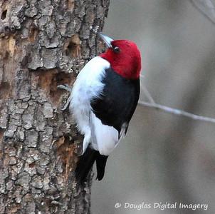 rh_woodpecker001