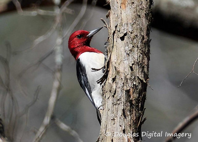 red_headed_woodpecker001