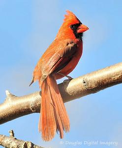 cardinal001