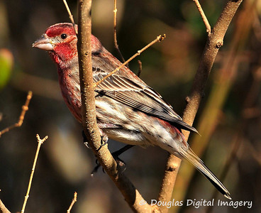 house_finch_male001