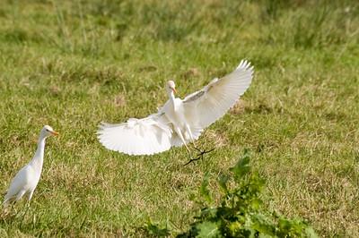 Backyard Egrets