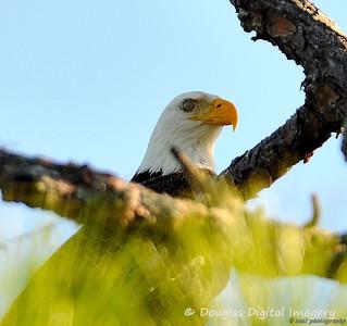 bald_eagle001