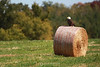 Bald eagle on hay bale