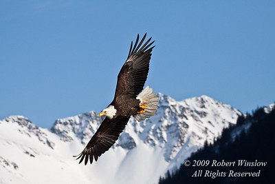 Bald Eagle, Haliaeetus leucocephalus, Flying, Kenai Peninsula, Alaska