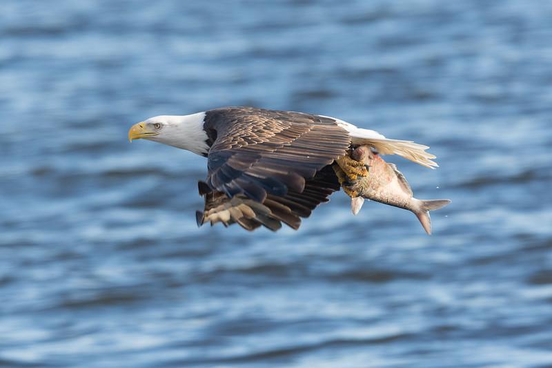 0231-Eagles-DSC_8045