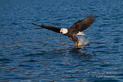 Bald Eagle, Haliaeetus leucocephalus, Flying, Fishing, Kenai Peninsula, Alaska