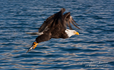 Bald Eagle, Haliaeetus leucocephalus, Flying with a Fish in its Talons,  Kenai Peninsula, Alaska