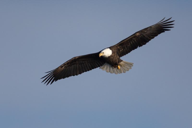 0784-Eagles-DSC_8598