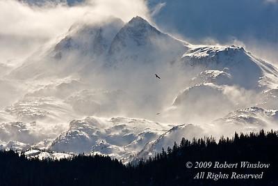 Bald Eagles, Haliaeetus leucocephalus, Flying, Kenai Peninsula, Alaska