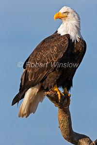 Bald Eagle, Haliaeetus leucocephalus, Kenai Peninsula, Alaska