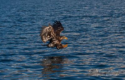 Juvenile Bald Eagle, Haliaeetus leucocephalus, Flying, Fishing, Kenai Peninsula, Alaska