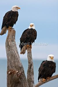 Bald Eagles, Haliaeetus leucocephalus, Kenai Peninsula, Alaska