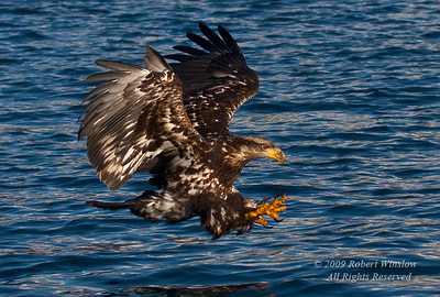 Juvenile Bald Eagle, Haliaeetus leucocephalus, Flying, Fishing, Kenai Peninsula, Alaska