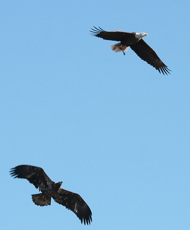 Bald Eagles, WV 11-28-09