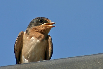 Juvenile Swallows not straying too far from the nest, but are  flying very well.