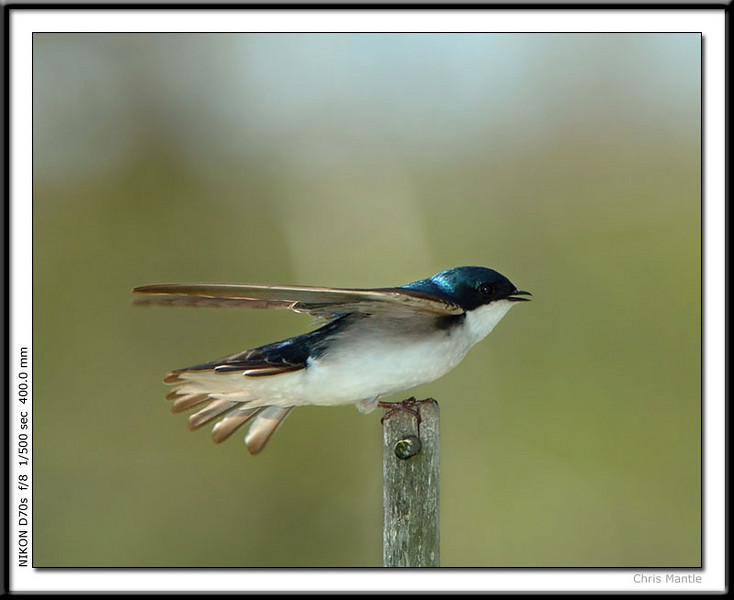 Tree Swallow coming in for landing