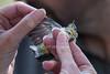 PMR, Bird Banding, Virginia's Warbler, Oreothlypis ruficapilla, Oxbow Preserve, Durango, La Plata County, Colorado, USA, North America