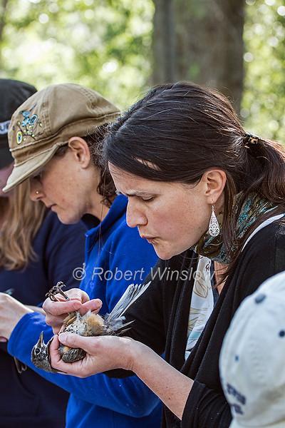 PMR, Bird Banding, Robin,  Oxbow Preserve, Durango, La Plata County, Colorado, USA, North America