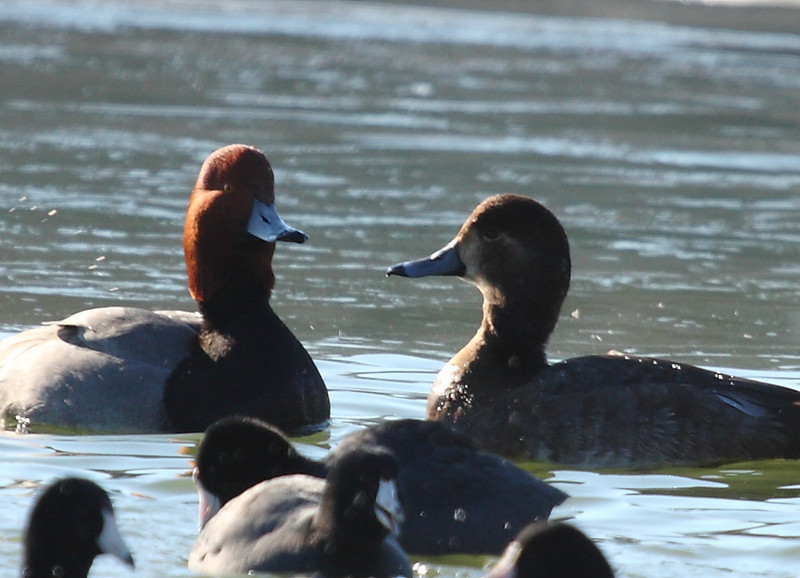 Redheads, male and female, with American Coots.<br /> Lake Shenandoah 1-9-10