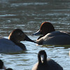 Female Canvasback Duck on left with Redhead (male.)<br /> Lake Shenandoah 1-9-10