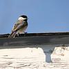 Carolina Chickadee - yard bird<br /> Harrisonburg, VA 1-9-10