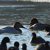 With somewhat similar markings, Redhead and Canvasback Ducks sport different head and bill shape as shown by this photo.  Canvasback (F) on left, male Redhead on right.<br /> Lake Shenandoah 1-9-10