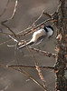 Black-capped Chickadee, Rawley Springs 1-10-10