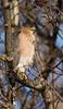 Cooper's Hawk<br /> Lake Shenandoah 1-10-10