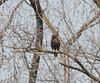 Dark (Western?) Red-tailed Hawk