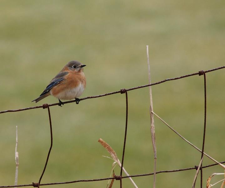 Eastern Bluebird<br /> Lake Shenandoah 1-24-10