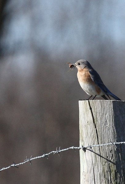 Eastern Bluebird with LARGE spider<br /> Faughts Rd, Rockingham County 1-18-2010