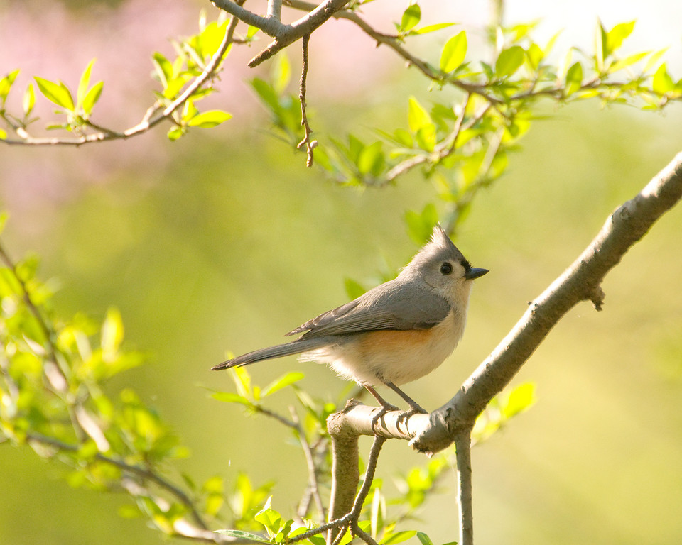 "Tufted Titmouse - ""Spring Titmouse"""