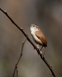 Wren - Carolina Wren - 1925 - I think I need to recheck the ID on this one.