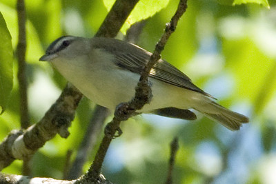 Vireo, Red-Eyed - D3928